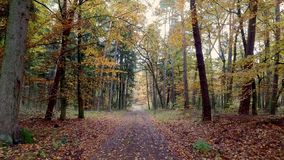 Walking in the middle of forest full of colourful trees in autumn, Poland stock video