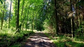 Walking in the middle of green forest full trees in spring, Poland. Europe stock video