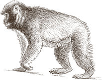 Walking monkey Royalty Free Stock Photo