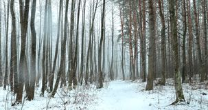 Walking Motion In Winter Snowy Forest Park During Snowfall Blizzard. Snowy Mixed Forest Stock Photography