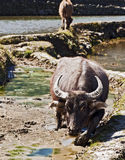 Walking through the Mud. A water buffalo trudges through the thick mud in a rice terrace in Yuanyang in southern Yunnan province in China Stock Photos