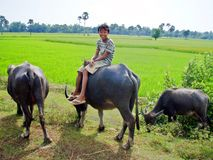 Walking my Buffalo. Young Cambodian child walking his buffalo Stock Photo