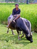 Walking my Buffalo. Young Cambodian child walking his buffalo Royalty Free Stock Images