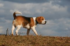 Walking with my pet. Walking with my dog beagle Royalty Free Stock Image