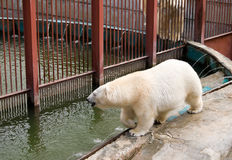 Walking near pool white polar bear Royalty Free Stock Photography