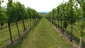 Walking in nice vineyard plant, agriculture, south moravia, Czech republic