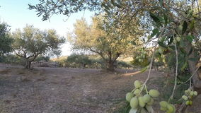 Walking in an olive grove stock video footage