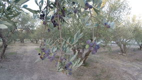 Walking in an olive grove stock video