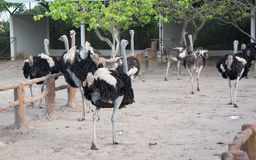 Walking ostriches. Ostriches at the enclosure at the city garden in Vung Tau, Vietnam Stock Photo