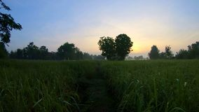 Walking in the paddy fields in the morning. Walking Slowly in the paddy fields in the morning stock footage
