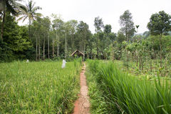 Walking Through Paddy Fields Royalty Free Stock Images