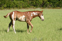 Walking Paint Colt. Sorrel overo paint colt walking through pasture, bright morning sunshine, summertime Stock Image
