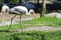 Walking Painted Storks(Mycteria leucocephala) Royalty Free Stock Image