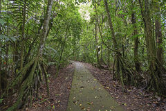 Walking Palms along a Rain Forest Path. In La Selva Biological Station in Costa Rica stock photo