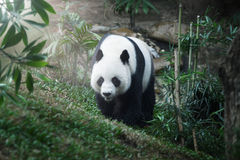 Walking panda Royalty Free Stock Image