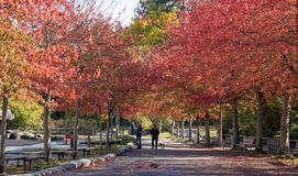 Walking in the park with red, orange and yellow fall foliage in Vancouver royalty free stock photo