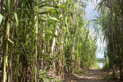 Walking path in bamboo forest with view on river, Serere Madidi, Royalty Free Stock Photos