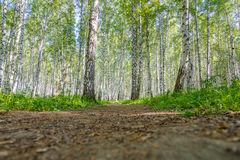 Walking path in birch grove Stock Photography