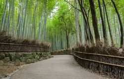 Green bamboo grove at Arashiyama in Kyoto, Japan. Walking path and green bamboo forest at Arashiyama touristy district, Kyoto prefecture in Japan Royalty Free Stock Photography