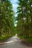Walking path in pine forest Royalty Free Stock Images