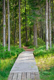 Walking path in the pine forest Royalty Free Stock Photos