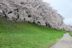 A walking path by river bank with a romantic archway of beautiful Sakura blossoms Stock Photo