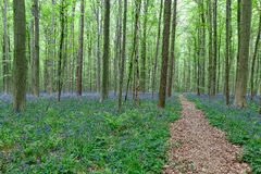 Walking path between the trees and bluebells. Walking path and bluebells (Hyacinthoides non-scripta) between the trees of the Hallerbos (Halle woods), Belgium in stock photography