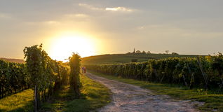Walking path in the vineyards royalty free stock image
