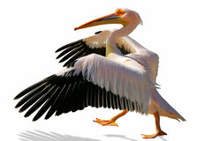 Walking pelican Stock Image