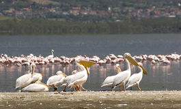 Walking pelicans Royalty Free Stock Image