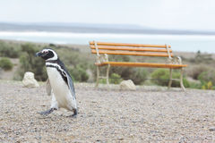 Walking penguin Stock Photo