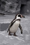 Walking Penguin. Magellanic penguin walking on stones stock photos