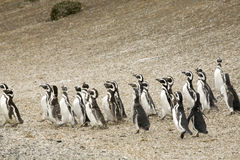 Walking penguins Stock Photos