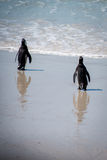 Walking Penguins. A couple of penguins walking to the waterside Royalty Free Stock Photo