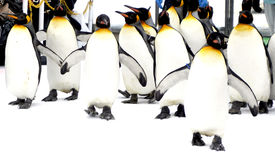 Walking Penquin parade animal on snow winter Stock Photo