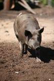 Walking pig Royalty Free Stock Photo