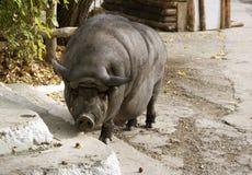 Walking pig. A hog walking on the village street Stock Image