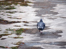 Walking pigeon Royalty Free Stock Images