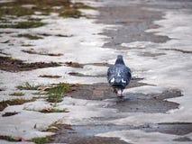 Walking pigeon Royalty Free Stock Images