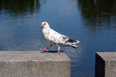 Walking pigeon Royalty Free Stock Image