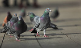 Walking pigeons Stock Photography