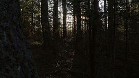 Walking in pine forest stock footage