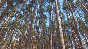 Walking through the pine forest. Sunny winter day. stock footage