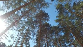 Walking through the pine forest. Sunny winter day. Natural background. stock video footage