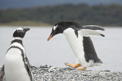Walking pinguin Stock Images