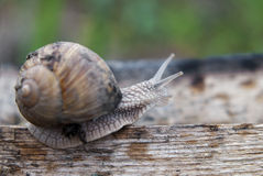 Walking the plank. Close up of snail walking the plank Royalty Free Stock Image