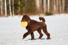 Walking poodle in the winter Royalty Free Stock Photo
