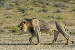 Walking power. Male lion walking in the dry Nossob river bed in the Kgalagadi Transfrontier Park Royalty Free Stock Photos