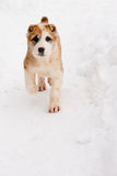 Walking puppy Royalty Free Stock Image