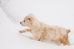 Walking puppy Stock Images
